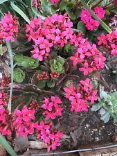 X5 Kalanchoe blossfeldiana Red Flowers Succulent Plants