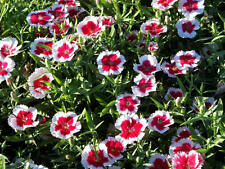 Flower Seed: Valentine Dianthus seeds 30 seeds Fresh Seed Free Shipping