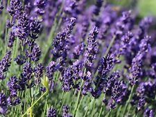 *WHOLESALE 1 LITRE - ANGUSTIFOLIA HIDCOTE LAVENDER PLANTS *VARIOUS QTYS*LOOK*