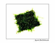 Christmas moss / Xmas Moss in rete metallica / LIVE AQUARIUM PLANT / EASY / UK Venditore