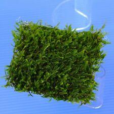 Java Moss PAD 8x8cm- Live Aquarium Water Plants Steel Mesh for Low Co2 Fish Tank