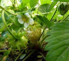 "BF004 Alpine Strawberry ""Yellow Wonder""x50 seeds"