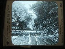Magic Lantern - #P66 - WALNUT GROVE in SOUTHERN CALIFORNIA - Black & White