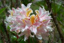 Rhododendron occidentale    x 25 Fresh Seed