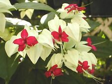 Clerodendrum thomsoniae | White Bleeding Heart Vine | pint plant FREE SHIP