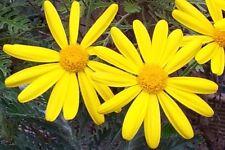 7 Golden Daisy Bush Euryops flowering garden plant pot shrub flower border