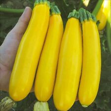Squash Golden Zucchini Vegetable Seeds Tender Delicious COMBINED SHIPPING