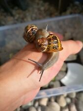 X2 Live Escargot Snails - Helix aspersa maxima. x1 cuttlefish bone for calcium