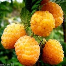 Raspberries Yellow seeds berry Малина желтая 10 seeds S0611 Garden idea