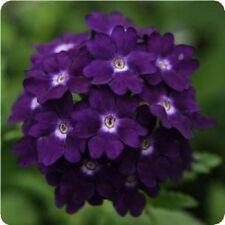 35+ VERBENA TUSCANY VIOLET W/ WHITE EYE  PERENNIAL FLOWER SEEDS / DEER RESISTANT
