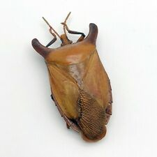 Bull-Horn Shield Bug (Eurypleura bicornis) Collector Insect Specimen Thailand