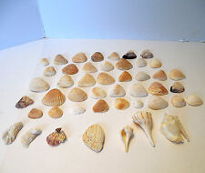 Seashells Lot of 47 43 Arcs, 3 Welks, small 1-2 inches Crafting Ocean Beach