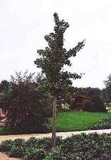 Ginkgo biloba Princeton Sentry - Fächerblattbaum - Ginko - Heilpflanze - Freunds