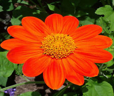 SUNFLOWER MEXICAN TORCH Tithonia Rotundifolia - 100 Bulk Seeds