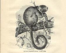 Stampa antica LEMURE APALEMURE GRIGIO Hapalemur griseus 1891 Old antique print