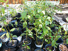 My Asian pear trees are growing up so fast!