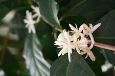 Coffea Arabica Nana-Dwarf Café Bush - 15 las semillas frescas