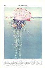 Vintage Scarce Hashime Murayama Fish Print ~ Portuguese Man-of-War ~