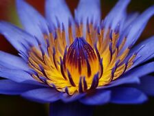 Bulk Egyptian Sacred Blue Water lily Nymphaea Caerulea 1000 seeds Not lotus A58