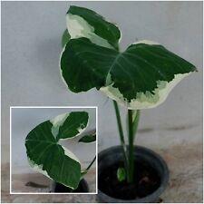 Xantho 00004000 soma sagittifolium 1 Bulbs, Variegated Thai variety with swirled leaves