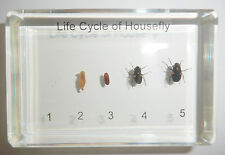Life Cycle of House Fly Set Musca domestica Real Insect Specimen Teaching Aid