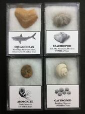 Fossil Collection (Marine Fossils of Morocco) - Ammonite, Shark Tooth ...