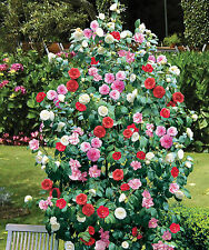 Camellia Hardy Evergreen Shrub Potted Plant 15cm x 1 | 3-in-1 Three Colours T&M