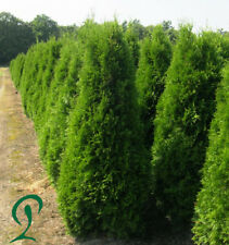 Lebensbaum Thuja Smaragd 140-160 cm Höhe. 12 x Heckenpflanzen 295,- €.