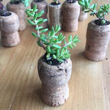 3 x Champagne Cork Mini Planters | Real Champagne Corks | Real Mini Succulents