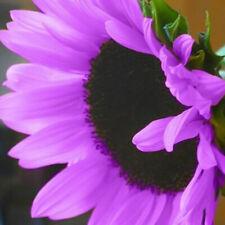 100Pcs Rare Purple Sunflower Seeds Beautiful Flower Garden Ornament Plant Sanwo