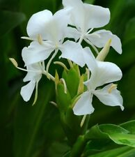 White Ginger Lily (Hedychium) Absolute Pure EO- 30 ML + Free Carrier oil 10 ml