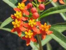 Asclepias curassavica, Tropical Milkweed. 1000 seeds. Chemical free.