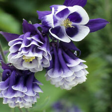AQUILEGIA 'Double Flower Mix' 100+ seeds Columbine Grannys Bonnet flower garden