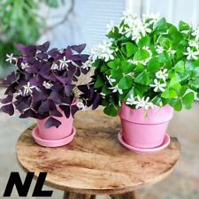 5 Oxalis Flower Seeds 3 Species Wood Sorrel Bonsai Plant Home Garden Decoration
