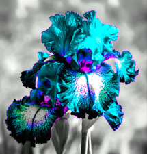 2 Perennial Flower Iris Bulbs Resistant Bearded Gifts Stunning Rare Hardy Plants