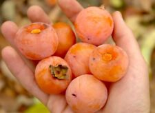 Sweet American Persimmon SZUKIS - GRAFTED Fruit tree DIOSPYROS VIRGINIANA KAKI