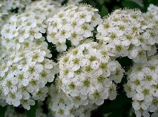50 White CHINESE SPIRAEA Chinensis Maximowicz Flower Bush Shrub Seeds *Comb S/H