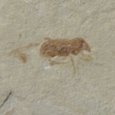 Weevil (Snout Beetle) Insect Fossil Green River Formation Utah