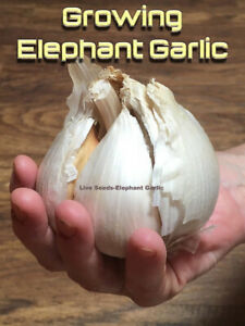 Genuine Elephant Garlic 5 Corms RARE-You will get same in 2nd Picture UK Crop