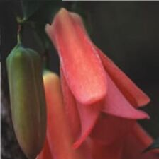 Flower - Lapageria rosea - Chilean Bell Flower - 8 Seed