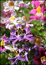 200 MIXED BUTTERFLY ORCHID ANGEL WINGS Schianthus Seeds
