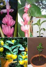 Rosa Banane + 2 Orangenbäume Zimmerpflanzen für den Balkon das Fensterbrett Deko
