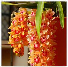 100 Rare Cymbidium Seeds Balcony Yellow Cymbidium Faberi Cicada Orchid