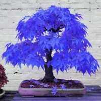10 Stück Samen Pflanzen Ahorn vergossen blau seltene Bonsai schönen Baumgarten