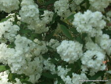 Bridal Wreath Spiraea, spring flowering, white flowers