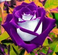 US-Seller 100Pcs Osiria PURPLE/White Rose Bush Seeds
