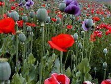 WINTER SOWING 1000 + seeds POPPY FLOWER mix Papaver Somniferum