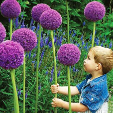 40 Giant Allium GLOBEMASTER Allium Giganteum Onion Organic Seeds