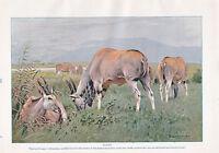 1910 Naturale Storia Stampa Double Sided ~ Eland / Kudu ~ Lydekker