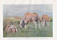 1910 Natural History Estampado Doble Costado ~ Eland / Kudu ~ Lydekker